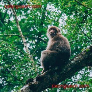 Cao khỉ có tác dụng gì
