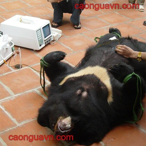 Chung tay bảo vệ gấu : Không dùng mật gấu