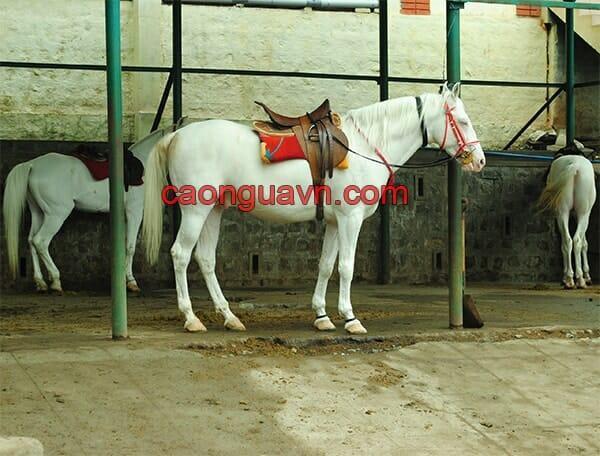 Trang trại ngựa bạch