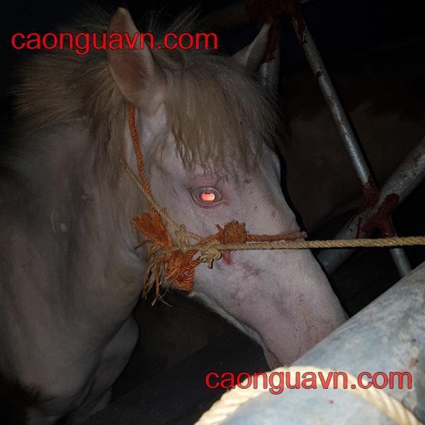 Ngựa bạch tạng