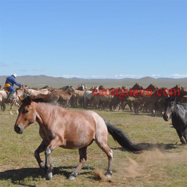 Nuôi ngựa ở Mông Cổ